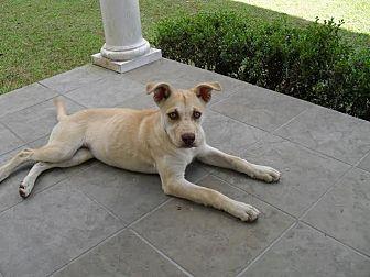 Labrador Retriever/Bulldog Mix Puppy for adoption in Blountstown, Florida - Buttermere