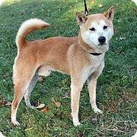 Shiba Inu Mix Dog for adoption in Harrison, New York - Andy