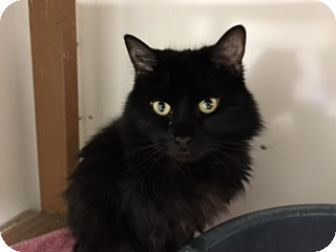 Domestic Longhair Cat for adoption in Diamond Springs, California - Macey Wookie