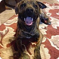 Adopt A Pet :: Tank - Modesto, CA