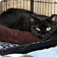 Domestic Shorthair Cat for adoption in Lowell, Massachusetts - Caroline