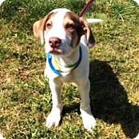Adopt A Pet :: Rascal - Rexford, NY