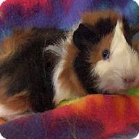 Adopt A Pet :: Jimmy Hendrix - Steger, IL