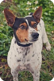 Fox Terrier (Smooth) Mix Dog for adoption in Loxahatchee, Florida - Jake 405