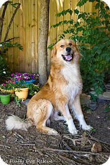 Retriever (Unknown Type)/Great Pyrenees Mix Dog for adoption in Enfield, Connecticut - Cocuyo