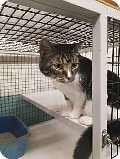 American Shorthair Cat for adoption in Shelbyville, Tennessee - Hoss