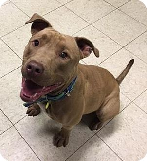 Terrier (Unknown Type, Medium)/American Pit Bull Terrier Mix Dog for adoption in Fulton, Missouri - Balthazar- Ohio