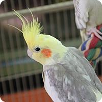 Cockatiel for adoption in Benbrook, Texas - Ducky