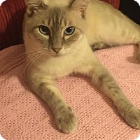 Siamese Cat for adoption in DFW Metroplex, Texas - Leo