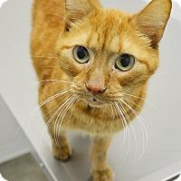 Adopt A Pet :: Mango - Springfield, IL