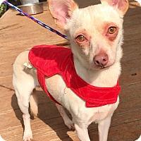 Chihuahua/Dachshund Mix Puppy for adoption in Santa Ana, California - Melman