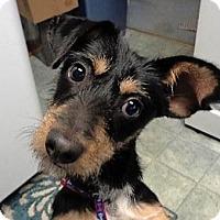 Adopt A Pet :: Cara - St Louis, MO