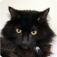 Adopt A Pet :: BLACKIE/Low Fees Neutered - Red Bluff, CA
