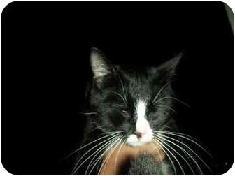 Domestic Shorthair Cat for adoption in Washington Terrace, Utah - Favorite