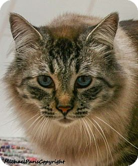 Ragdoll Cat for adoption in Davis, California - Newman