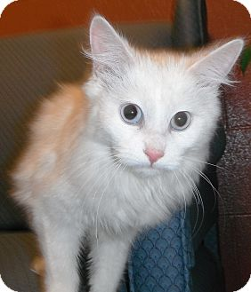 Domestic Longhair Kitten for adoption in Jackson, Michigan - Princess