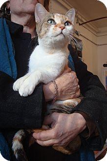 Domestic Shorthair Cat for adoption in Brooklyn, New York - Chloe