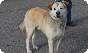 Husky/Shepherd (Unknown Type) Mix Dog for adoption in New Cumberland, West Virginia - James