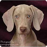 Weimaraner Mix Puppy for adoption in Las Vegas, Nevada - LVWCR PUPPIES