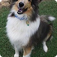 Adopt A Pet :: Sheena - Charlottesville, VA