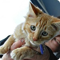 Adopt A Pet :: Tommy - Temecula, CA