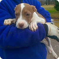Adopt A Pet :: Angel - Moulton, AL