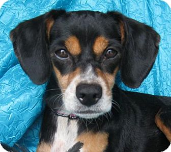 Beagle/Miniature Pinscher Mix Dog for adoption in Cuba, New York - Ellie