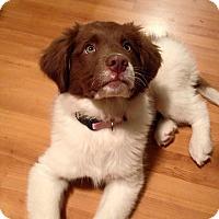 Adopt A Pet :: Lindor - Pitt Meadows, BC