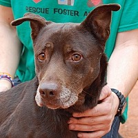 Labrador Retriever Mix Dog for adoption in Las Vegas, Nevada - Duncan