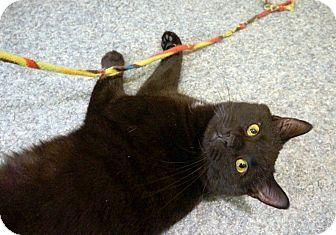 Domestic Mediumhair Cat for adoption in New York, New York - Boris