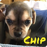 Adopt A Pet :: Chip - Rexford, NY