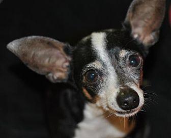 Rat Terrier Dog for adoption in Spring Lake, New Jersey - Steve