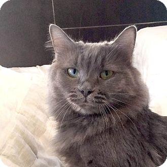 Russian Blue Cat for adoption in Studio City, California - Addie