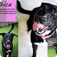 Adopt A Pet :: Chica - Spring, TX