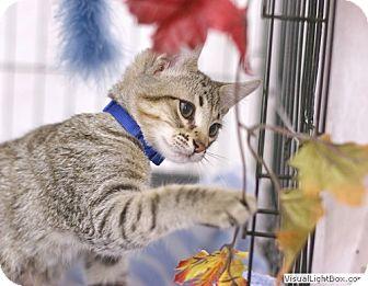 Domestic Shorthair Kitten for adoption in Westchester, California - Moe