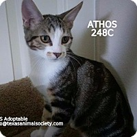 Domestic Shorthair Kitten for adoption in Spring, Texas - Athos