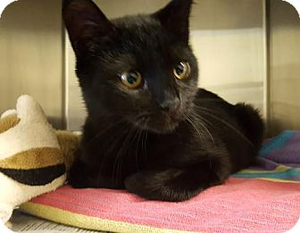 Domestic Shorthair Cat for adoption in Bridgewater, New Jersey - Midnight 2