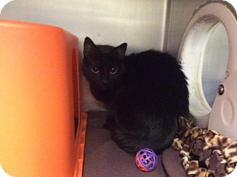 Domestic Shorthair Cat for adoption in Janesville, Wisconsin - Brylee