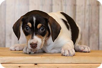 Jack Russell Terrier Mix Puppy for adoption in Waldorf, Maryland - Jinky ADOPTION PENDING