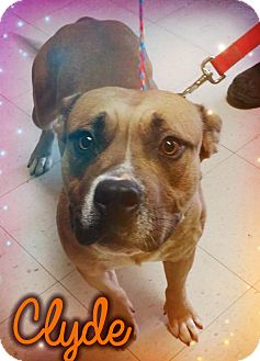 Pit Bull Terrier Mix Dog for adoption in Odessa, Texas - Clyde