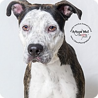 Cattle Dog Mix Dog for adoption in Apache Junction, Arizona - Remington
