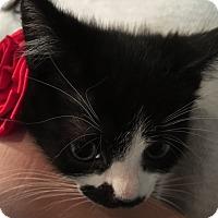 Domestic Shorthair Kitten for adoption in El Dorado Hills, California - Flower