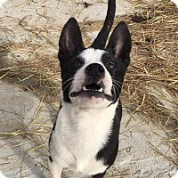 Boston Terrier Mix Puppy for adoption in Allentown, New Jersey - Tic Tac To