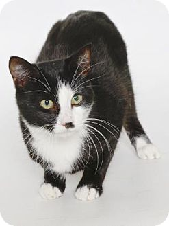 Domestic Shorthair Cat for adoption in Gloucester, Virginia - WILLIE