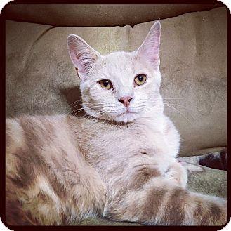 Domestic Shorthair Cat for adoption in Marietta, Georgia - Google