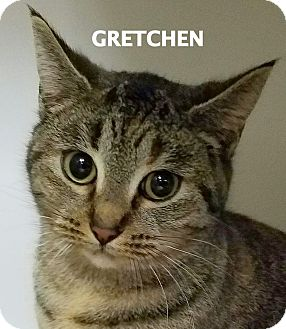 Domestic Shorthair Cat for adoption in Lapeer, Michigan - Gretchen