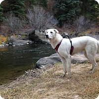 Adopt A Pet :: NORTH CAROLINA,RALEIGH; 'CAPTAIN' - Little, Rock, AR