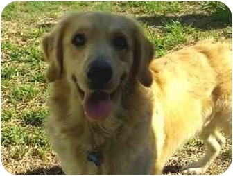 Golden Retriever Puppy for adoption in Lewisville, Texas - Jacob