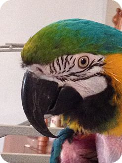 Macaw for adoption in St. Louis, Missouri - Sweetie