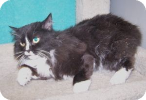 Domestic Longhair Cat for adoption in Colorado Springs, Colorado - Ebby